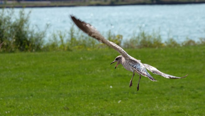 A seagull in the air on Belle Isle in the Detroit River. Michigan Department of Environmental Quality officials say the seagulls and geese contribute to the chronic E. coli contamination problems routinely shutting down area beaches. including those along Lake St. Clair.