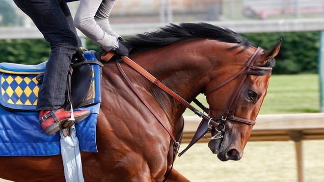 Close up of the powerr of American Pharoah galloping Sunday morning at Churchill Downs. The public is invited to come to the track to watch him train.