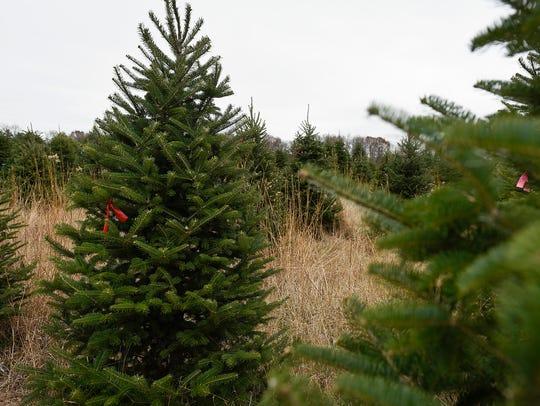 A field of trees at Hinkemeyer Tree Farm shown Thursday,