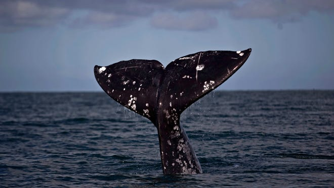 The tail of a gray whale surfaces at the Ojo de Liebre lagoon in Guerrero Negro, Mexico, Feb. 21, 2011.