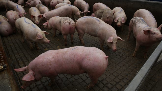 Pigs are unloaded off of tractor trailers in the dock area just off from the JBS pork plant.