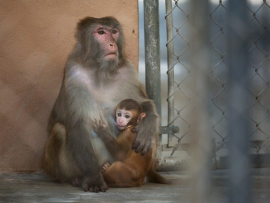 A female macacque monkey and its baby sit in an enclosure