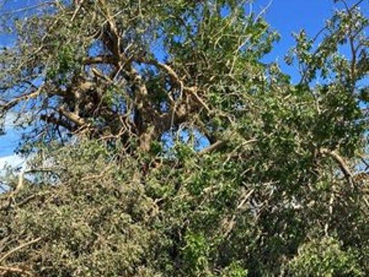 636135285523014217-downed-trees.jpg