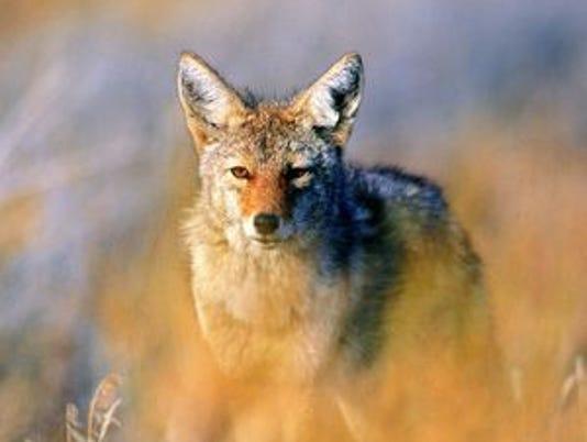 636577575758135105-coyote1.jpg