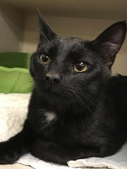 Tylo is a handsome, male domestic shorthair kitten