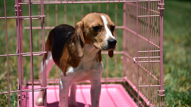 The Beagle Freedom Bill, which was approved by the Legislature in June, is named for beagles because that breed is commonly used in experiments.