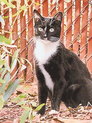 Feral cats are given a clipped ear when they are returned to their colony after they have been fixed.