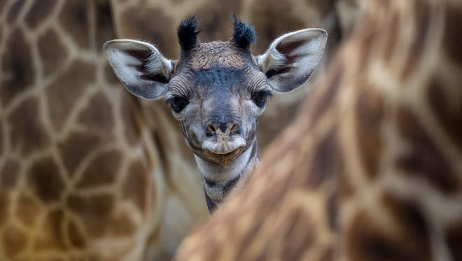 Young Giraffe at the San Diego Zoo.