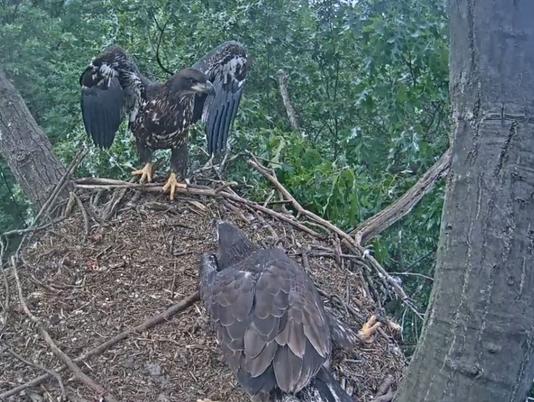 Hanover Eagle