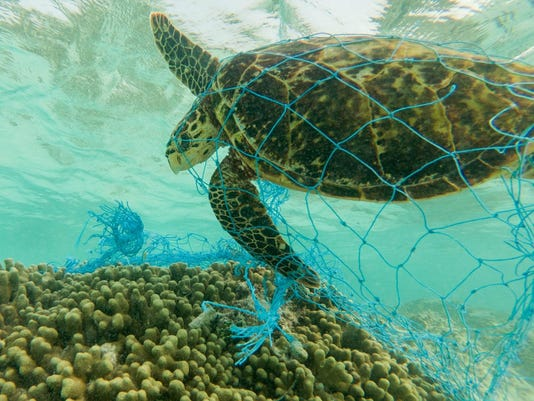 Green sea turtle and discarded fishing net