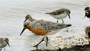 In this file photograph, a red knot, center, feeds among ruddy turnstones and sanderlings along the Delaware Bay shoreline in Middle Township, N.J. The federal government has ruled that the rust-colored shorebird known for its long migration is a threatened species. The U.S. Fish and Wildlife Service listed the red knot as threatened after a 14-month review.