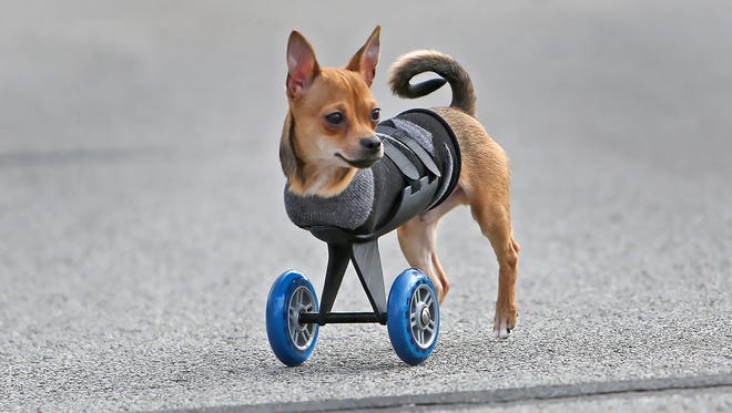 TurboRoo shows off his new wheels, using his new 3D printed mobility cart.  The actual wheels are from a schooter.  The rest was printed with a 3D printer.