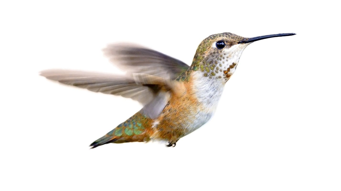 some hummingbirds prefer tennessee winters