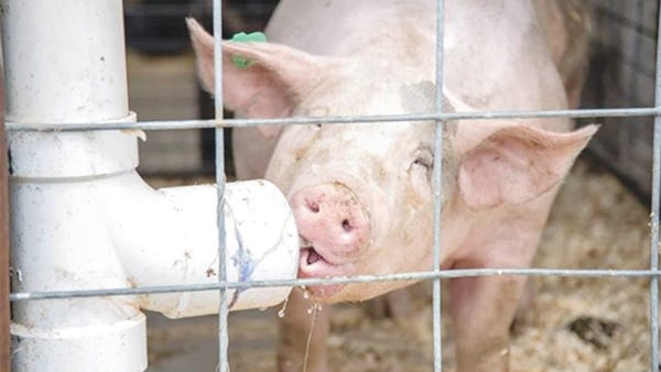 A pig drinks from its water bottle before being shown at the Miller County Fair in this 2019 file photo.