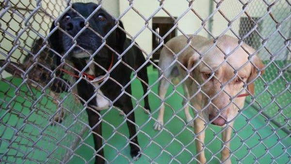 Two labrador mix dogs that killed a pair of goats in New City are in a pen at the Hi-Tor Animal Shelter in Ramapo Sept. 23, 2014.