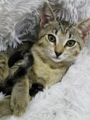 Alvin, a baby male tabby, is available for adoption from Wags & Whiskers Pet Rescue. Routine shots are up to date. For information, call 904-797-6039 or go to wwpetrescue.org to see more pets.