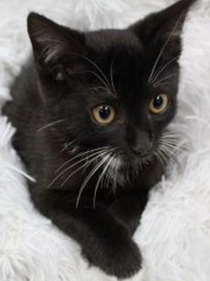 Jackson, a baby male tuxedo, is available for adoption from Wags & Whiskers Pet Rescue. Routine shots are up to date. For information, call 904-797-6039 or go to wwpetrescue.org to see more pets.