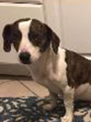 Mickey, an adult male beagle and Jack Russell terrier mix, is available for adoption from SAFE Pet Rescue of Northeast Florida. Call 904-325-0196. Vaccinations are up to date.