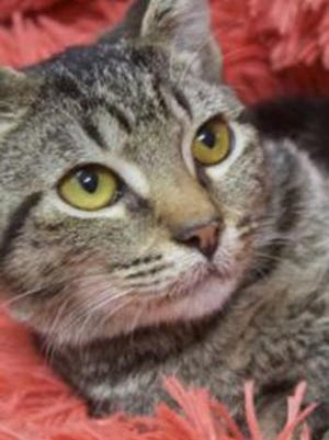 Sasha, a young female tabby, is available for adoption from Wags & Whiskers Pet Rescue. Routine shots are up to date. For information, call 904-797-6039 or go to wwpetrescue.org to see more pets.