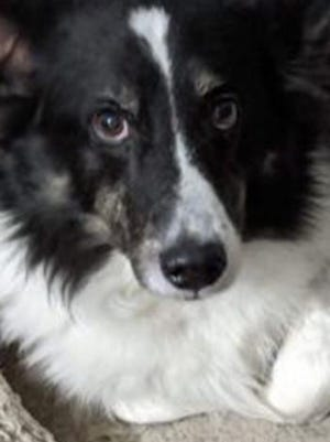 Harrison, a senior male collie and corgi mix, is available for adoption from Wags & Whiskers Pet Rescue. Routine shots are up to date. For information, call 904-797-6039 or go to wwpetrescue.org to see more pets.
