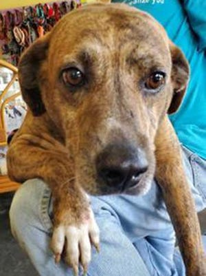 Trip, an adult male hound, is available for adoption from SAFE Pet Rescue of Northeast Florida. Call 904-325-0196. Vaccinations are up to date.