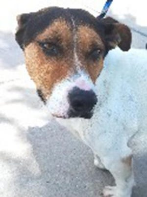 Watney, an adult male beagle and basset hound mix, is available for adoption from SAFE Pet Rescue of Northeast Florida. Call 904-325-0196. Vaccinations are up to date.