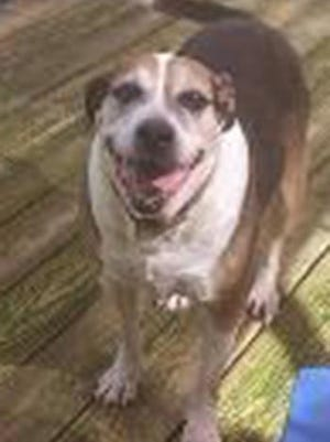 Venus, an adult female hound, is available for adoption from SAFE Pet Rescue of Northeast Florida. Call 904-325-0196. Vaccinations are up to date.