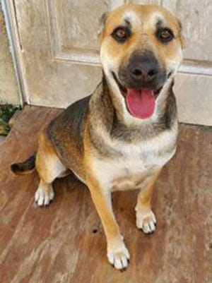 Heidi, a young female German Shepherd, is available for adoption from SAFE Pet Rescue of Northeast Florida. Call 904-325-0196. Vaccinations are up to date.