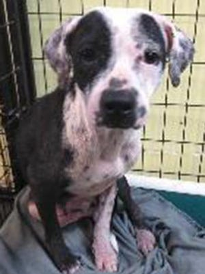 Tug, a young female hound and Dalmatian mix, is available for adoption from SAFE Pet Rescue of Northeast Florida. Call 904-325-0196. Vaccinations are up to date.