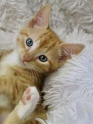 Sedona, a baby male tabby/tuxedo, is available for adoption from Wags & Whiskers Pet Rescue. Routine shots are up to date. For information, call 904-797-6039 or go to wwpetrescue.org to see more pets.