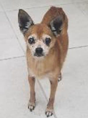 Foxy, an adult female Chihuahua, is available for adoption from SAFE Pet Rescue of Northeast Florida. Call 904-325-0196. Vaccinations are up to date.