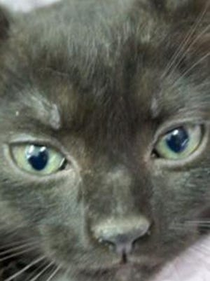 Lila, a baby female domestic short hair, is available for adoption from Wags & Whiskers Pet Rescue. Routine shots are up to date. For information, call 904-797-6039 or go to wwpetrescue.org to see more pets.