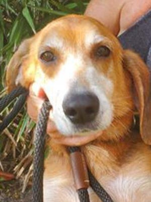 Bandit, an adult male treeing walker coonhound, is available for adoption from SAFE Pet Rescue of Northeast Florida. Call 904-325-0196. Vaccinations are up to date.