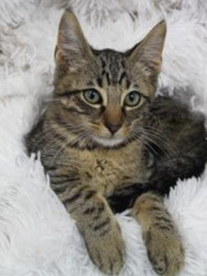 Mack, a baby male tabby, is available for adoption from Wags & Whiskers Pet Rescue. Routine shots are up to date. For information, call 904-797-6039 or go to wwpetrescue.org to see more pets.