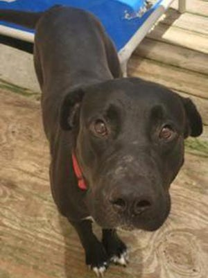 Joe, a young male Labrador Retriever, is available for adoption from SAFE Pet Rescue of Northeast Florida. Call 904-325-0196. Vaccinations are up to date.