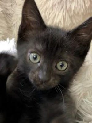 Boo, a baby male domestic short hair, is available for adoption from Wags & Whiskers Pet Rescue. Routine shots are up to date. For information, call 904-797-6039 or go to wwpetrescue.org to see more pets.