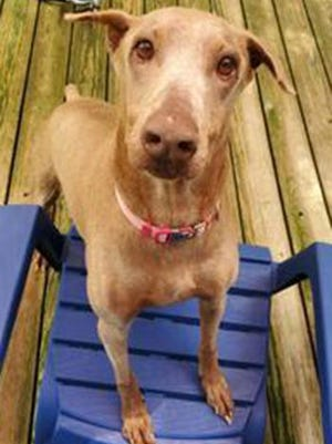 Henna, an adult female Doberman Pinscher, is available for adoption from SAFE Pet Rescue of Northeast Florida. Call 904-325-0196. Vaccinations are up to date.