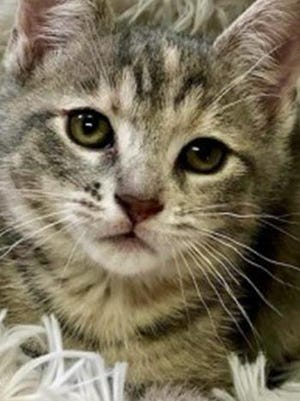Princess, a baby female tabby, is available for adoption from Wags & Whiskers Pet Rescue. Routine shots are up to date. For information, call 904-797-6039 or go to wwpetrescue.org to see more pets.