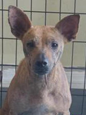 Gasper, a young female Jack Russell Terrier and hound mix, is available for adoption from SAFE Pet Rescue of Northeast Florida. Call 904-325-0196. Vaccinations are up to date.
