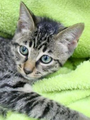 Cooper, a baby male tabby, is available for adoption from Wags & Whiskers Pet Rescue. Routine shots are up to date. For information, call 904-797-6039 or go to wwpetrescue.org to see more pets.