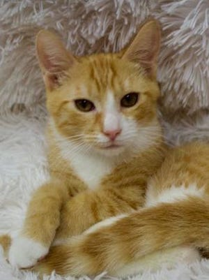 Kauai, a young male domestic short hair, is available for adoption from Wags & Whiskers Pet Rescue. Routine shots are up to date. For information, call 904-797-6039 or go to wwpetrescue.org to see more pets.