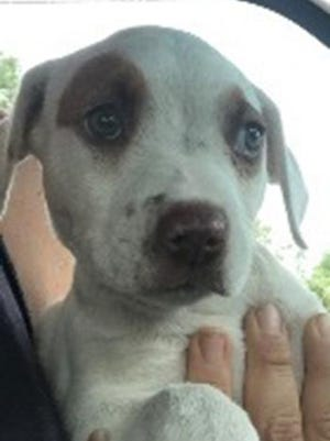 Naanda, a baby female hound, is available for adoption from SAFE Pet Rescue of Northeast Florida. Call 904-325-0196. Vaccinations are up to date.