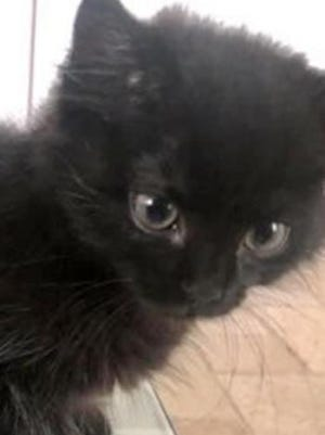 Noir, a baby male domestic short hair, is available for adoption from Wags & Whiskers Pet Rescue. Routine shots are up to date. For information, call 904-797-6039 or go to wwpetrescue.org to see more pets.