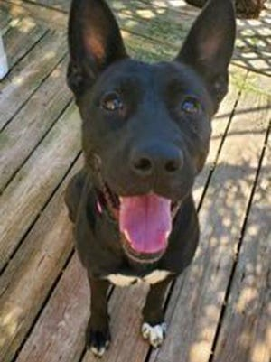 Martha, a young female shepherd and border collie mix, is available for adoption from SAFE Pet Rescue of Northeast Florida. Call 904-325-0196. Vaccinations are up to date.