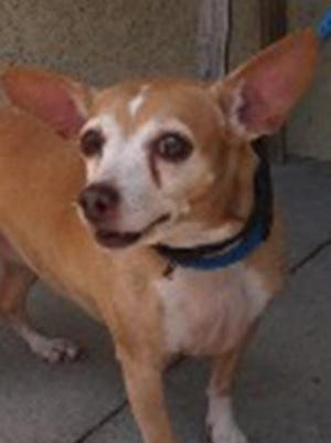 Lady, an adult female Chihuahua, is available for adoption from SAFE Pet Rescue of Northeast Florida. Call 904-325-0196. Vaccinations are up to date.