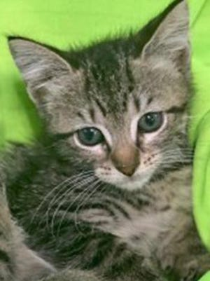 Bree, a baby female tabby, is available for adoption from Wags & Whiskers Pet Rescue. Routine shots are up to date. For information, call 904-797-6039 or go to wwpetrescue.org to see more pets.