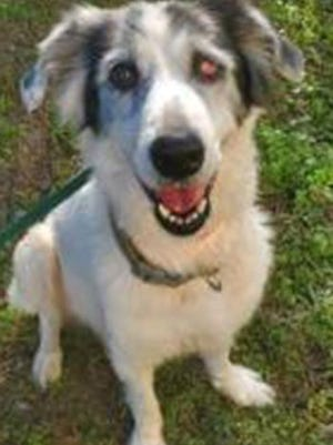 Boo Boo, an adult female Border Collie and Labrador Retriever mix, is available for adoption from SAFE Pet Rescue of Northeast Florida. Call 904-325-0196. Vaccinations are up to date.