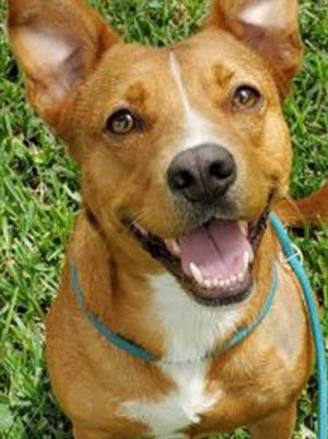 Momma, an adult female Basenji-Portuguese Podengo, is available for adoption from Wags & Whiskers Pet Rescue. Routine shots are up to date. For information, call 904-797-6039 or go to wwpetrescue.org to see more pets.