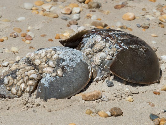 Horseshoe crabs at Slaughter Beach.