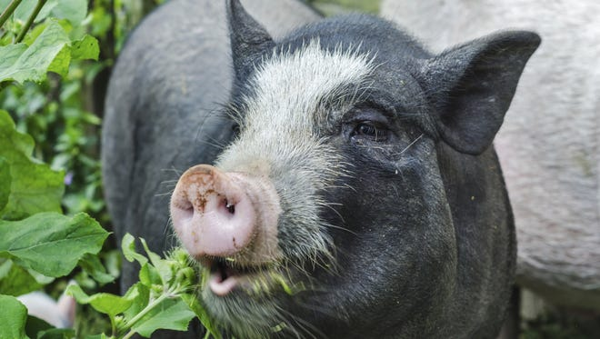 A pot-bellied pig and its owner were recently removed from a US Airways flight, a decade after the airline vowed it would no longer allow pigs on its planes.